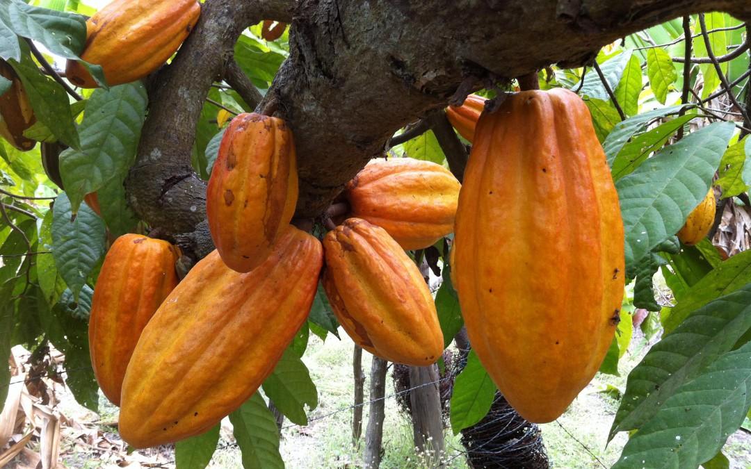 El Cacao