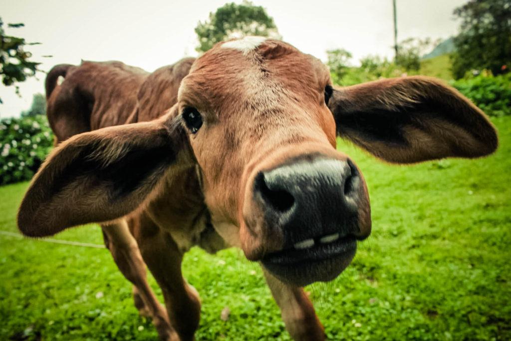 Algunes qüestions sobre la llet de vaca